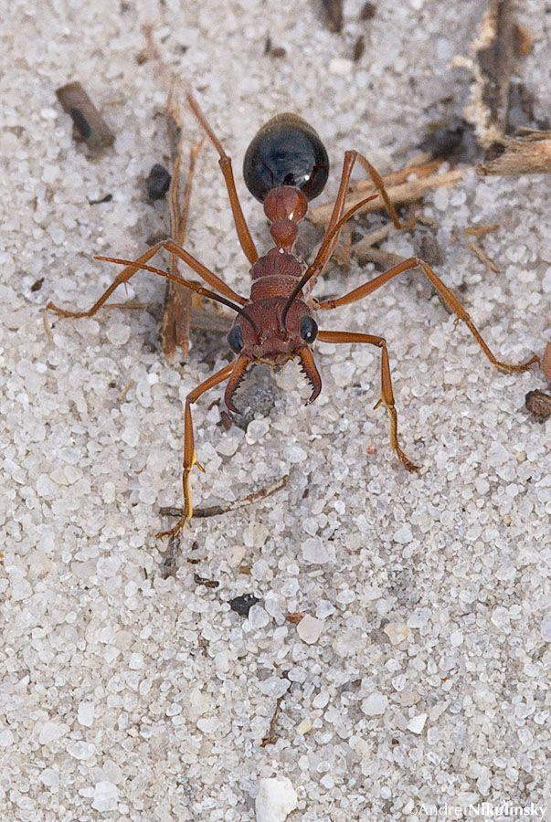 Bulldog Ant One Of The 10 Deadlist Creatures On Earth Evolving