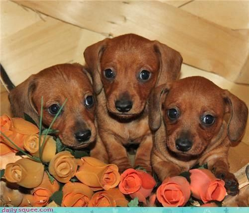 The many things we all admire about the Daschund Pups