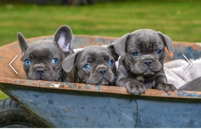 Beautiful Blue French Bulldogs Pups French Bulldog Puppies Blue
