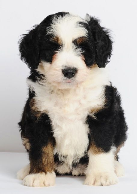 "Mini Bernedoodles - Bernese Mountain Dog & Poodle cross - 25-49 lbs. full grown & 15-20"" tall -- non shedding. LINK DOESN'T WORK. REFERENCE ONLY."