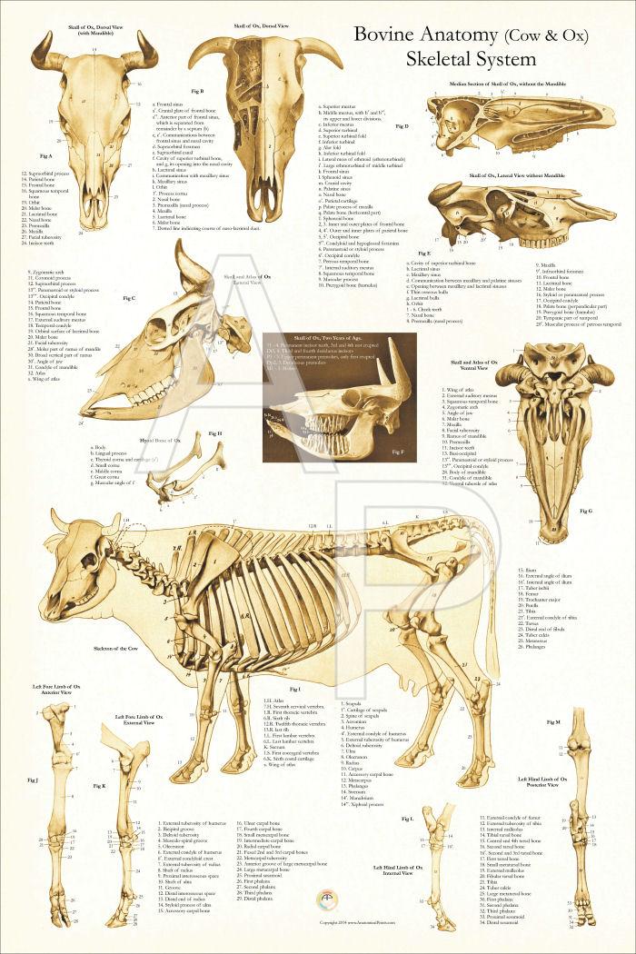 Cow Skeletal Diagram Schematic Diagram