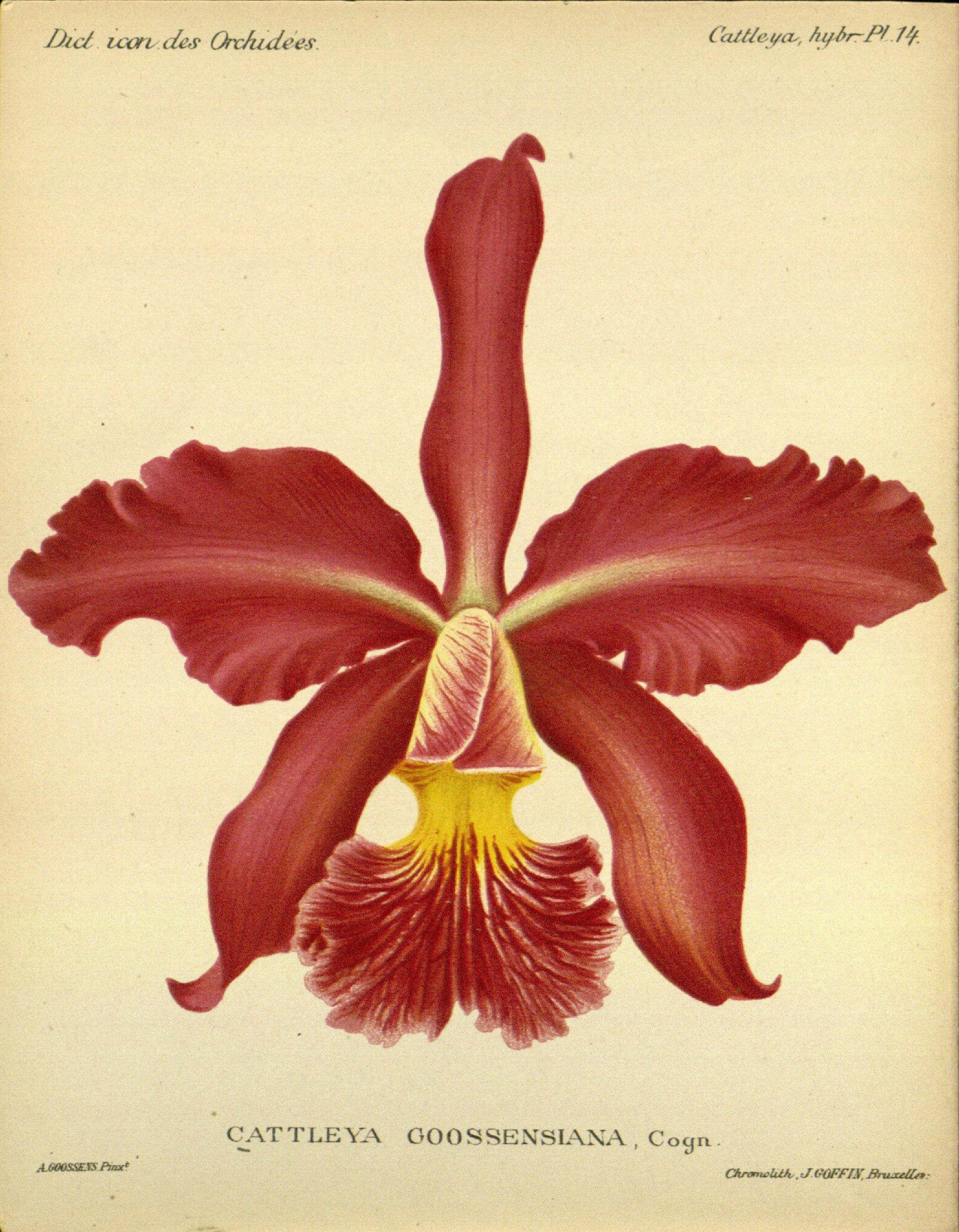 Cattleya X Goossensiana Circa 1907 Orchid Illustration Flower Art Botanical Illustration