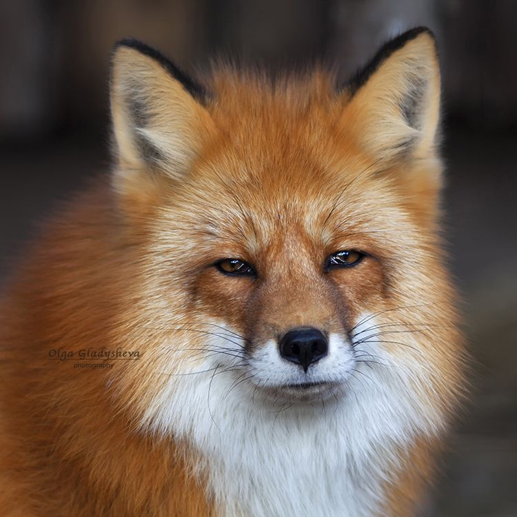 red fox face and - photo #14