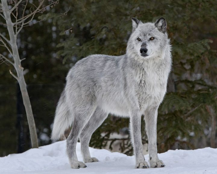 Image result for alpha male gray wolf standing