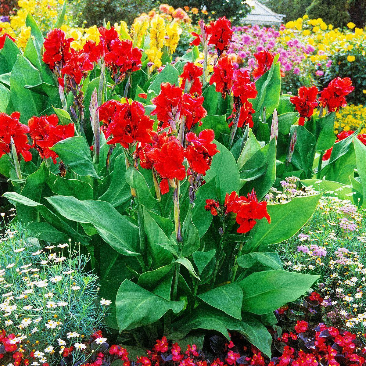 Canna Flamenco Indisches Blumenrohr Blumenrohr Indisches Blumenrohr Pflanzen