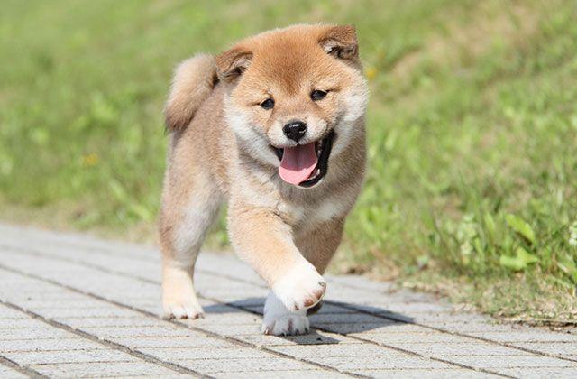Shibainu おしゃれまとめの人気アイデア Pinterest Iliriana Hoxha 犬 日本の秋田犬 柴犬 画像