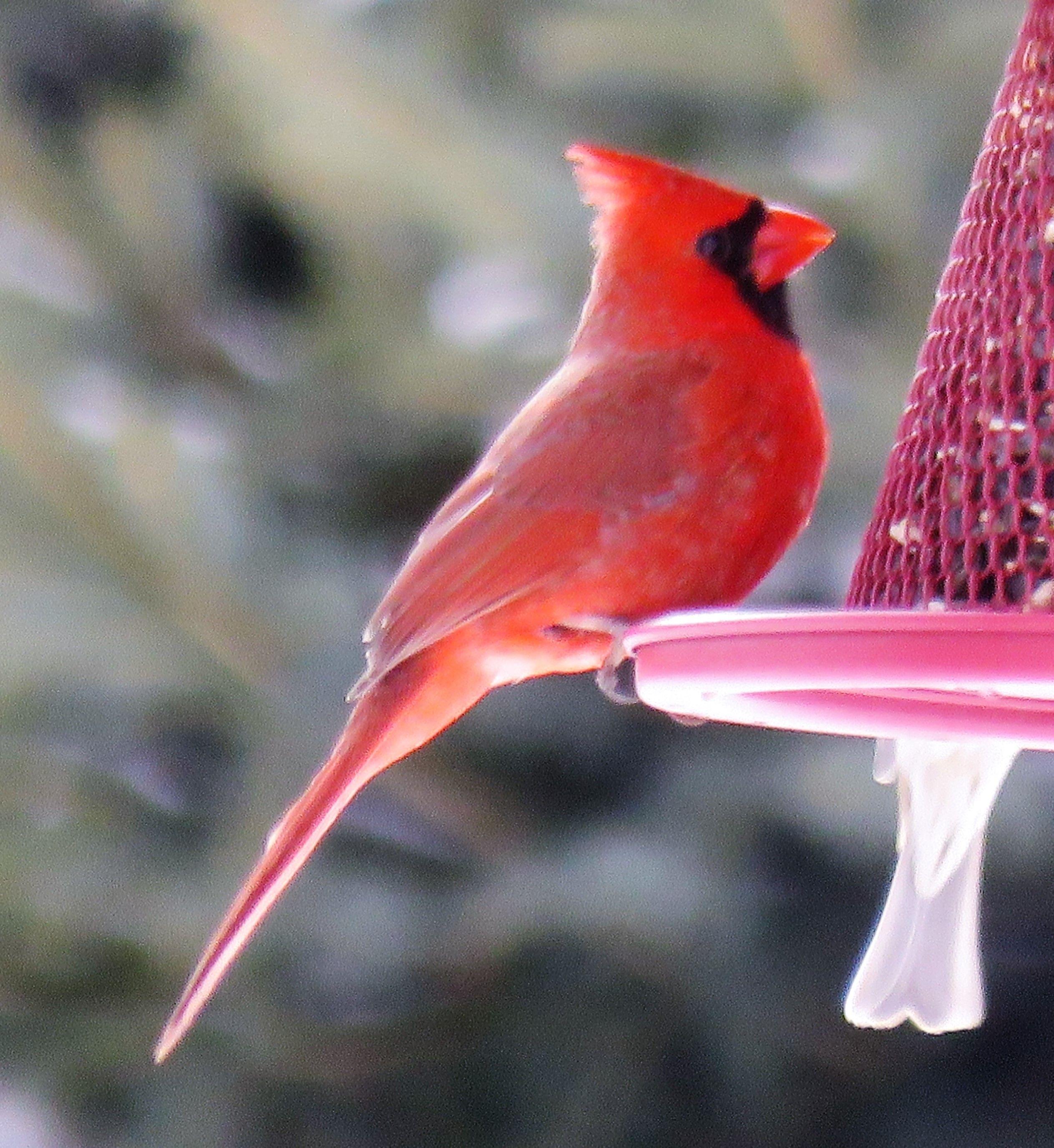 Gorgeous Cardinal