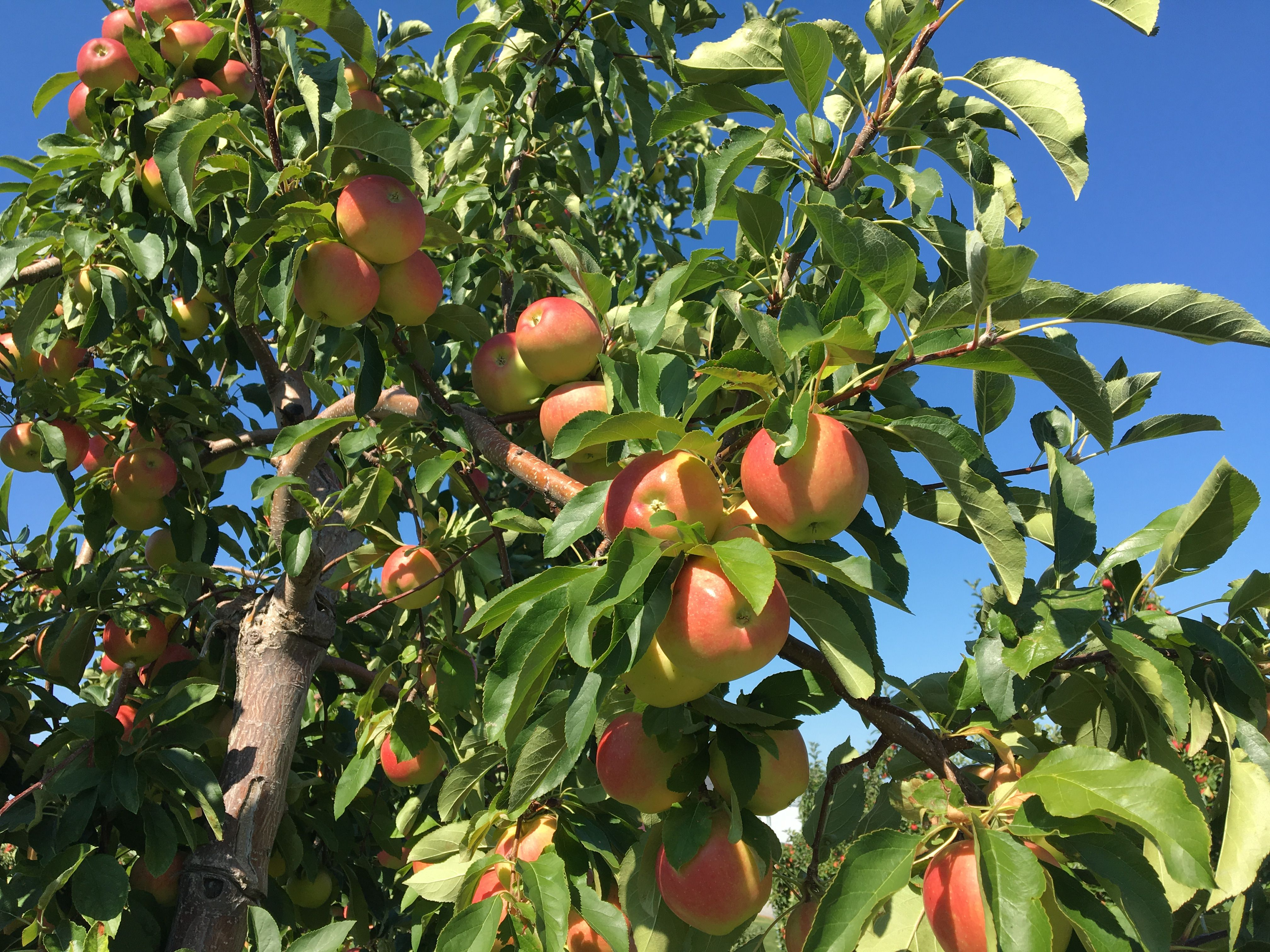 new york apple orchard fruit trees pinterest orchards new