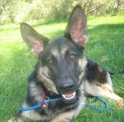 Adopt Siri On German Shepherd Dogs German Shepherd Puppies Dogs