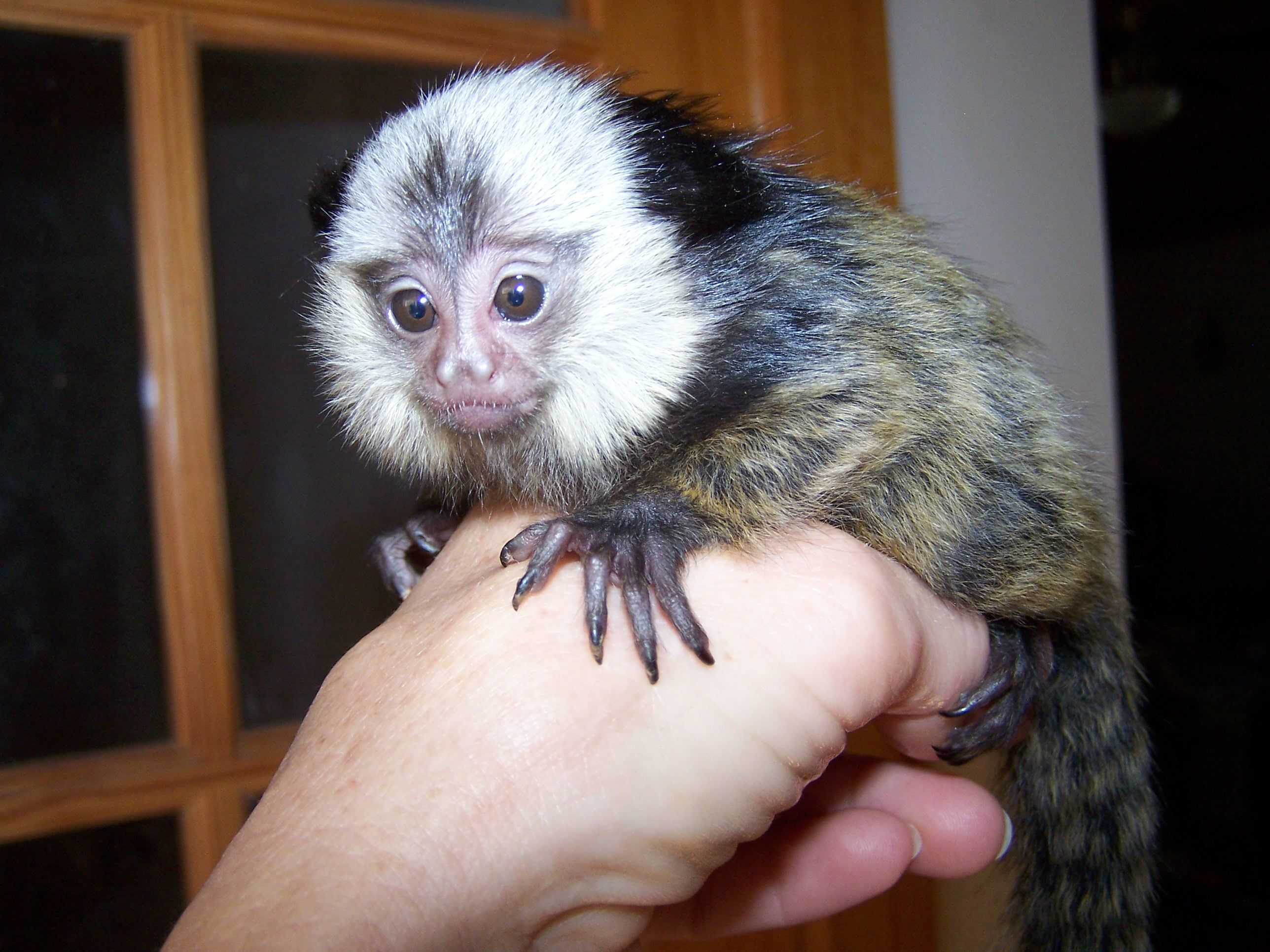 Pygmy Marmoset Monkeys for Sale WE HAVE HIGHLIGHTED SOME
