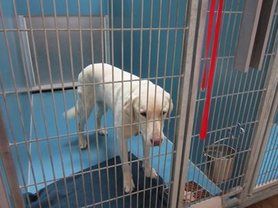 URGENT SENIOR ALERT IN MANSFIELD TX.....This 12 year old lab, who all of his life had lived with his family was Owner Surrendered because he did not like the new lab that just was moved in. He is a clean guy who is social and walks well on the leash and knows basic commands. He was around children who are now teens. He appears to be a nice boy. Please call Marilyn, Mansfield Animal Care and Control 817-276-4799 and give this big guy some HOPE!!