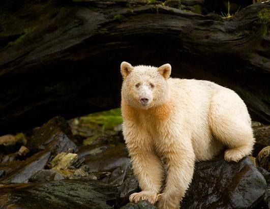 Native communities like the Gitga'at Nation consider the spirit bear to be sacred. Gitga'at mythology says that the Raven, their creator God, gave the spirit bear white fur to remind humans of a time when the world was covered in ice and snow. (Ian McAllister, Pacific Wild / International League of Conservation Photographers)