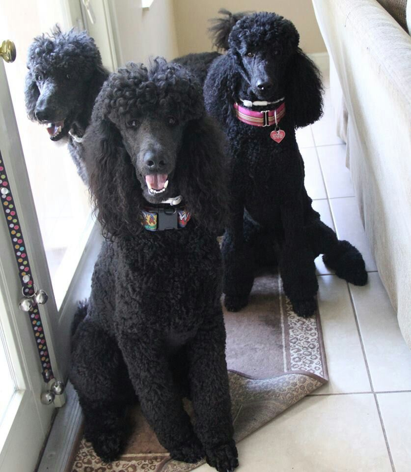Pin On Poodle Hairstyles