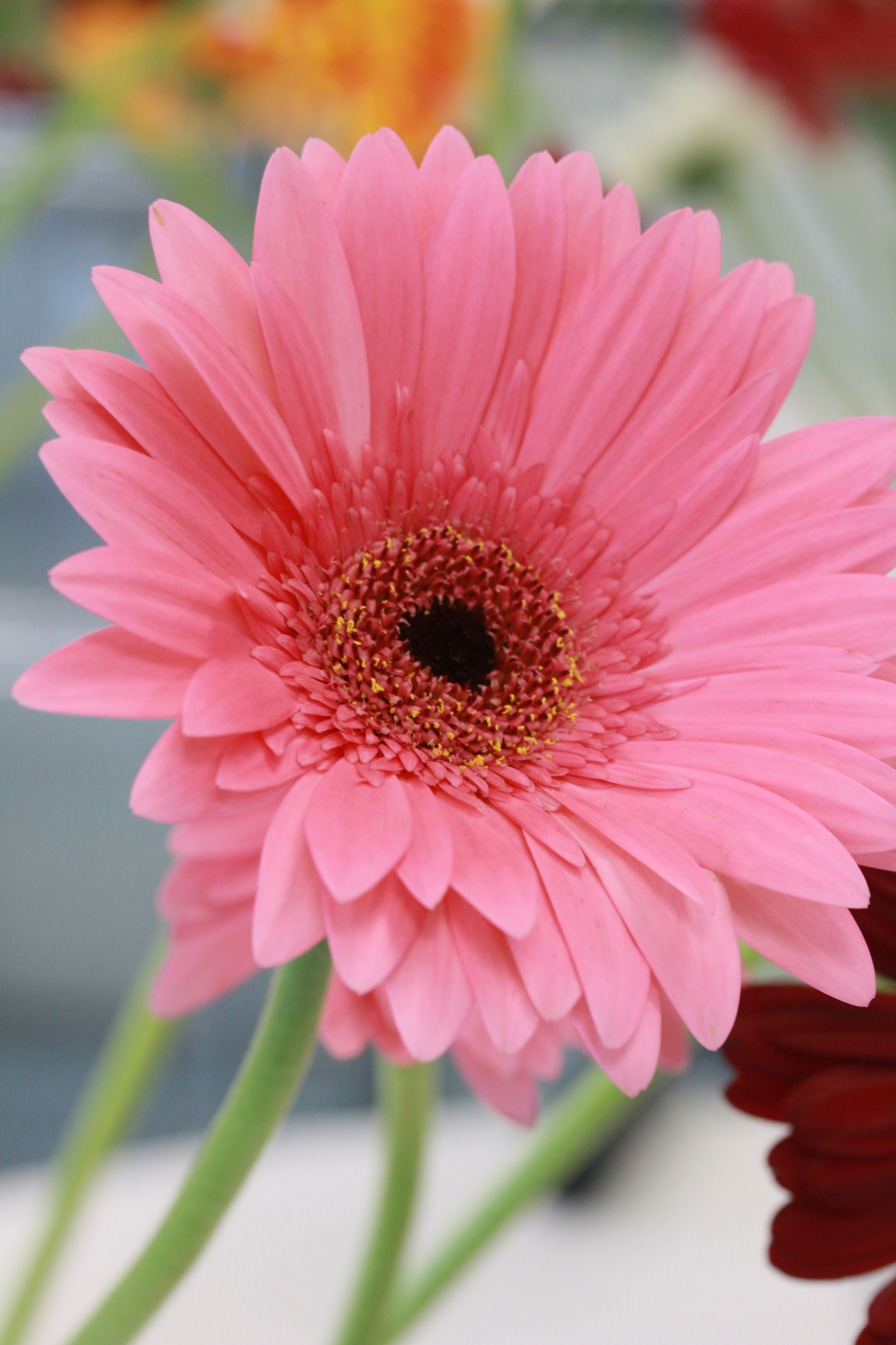Pink Gerbera Beautiful Flowers Gerbera Daisy Pink Gerbera