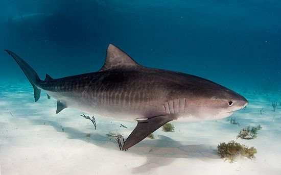 25 Tiger Shark Pictures And Hd Wallpapers Shark Pictures Tiger Shark Shark