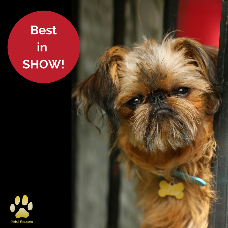 Brussels Griffon Puppies For Sale National dog show