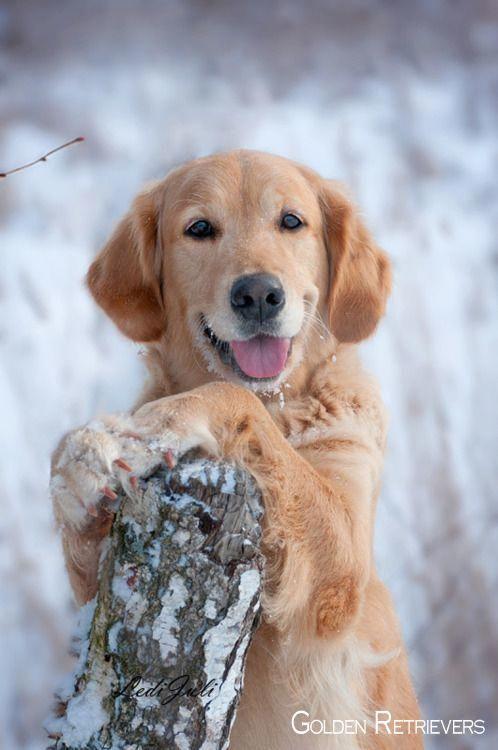 Golden Retriever Puppies #goldenretrieversofinsta # ...