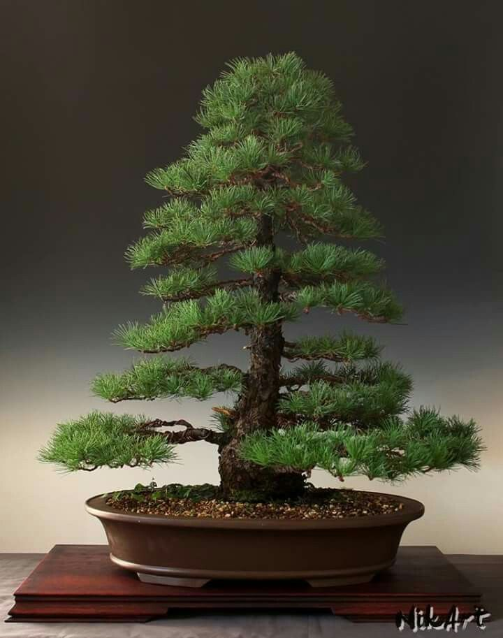 17 mejores ideas sobre bonsai yamadori en pinterest rboles bonsai bonsai indoor y bonsaischalen. Black Bedroom Furniture Sets. Home Design Ideas