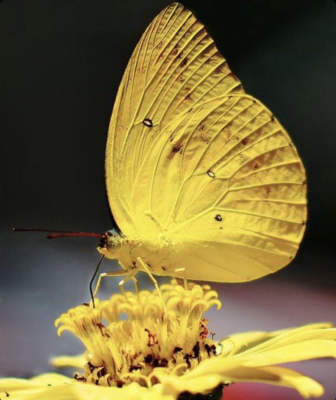 Pin Von Begonia Auf 1 Schmetterlinge Motten Schmetterlingsbilder Schmeterlinge Und Insekten