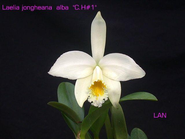 L. jongheana alba