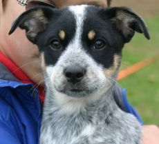 Australian Shepherd Blue Heeler Mix I Will Have This Dog When I