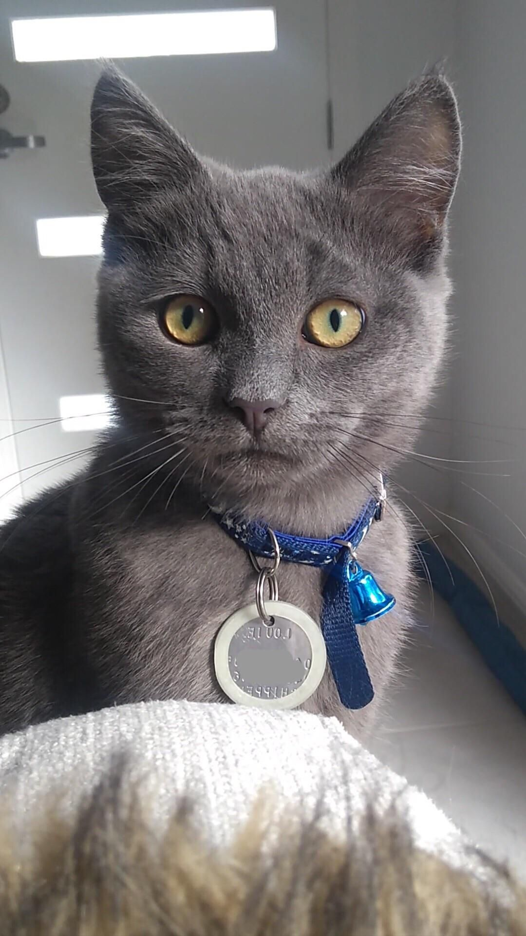 Our 4 Month Old Russian Blue Cross Lad Louiehttps I Redd It Ngfli3r2cmd31 Jpg Russian Blue Blue Cross 4 Month Olds