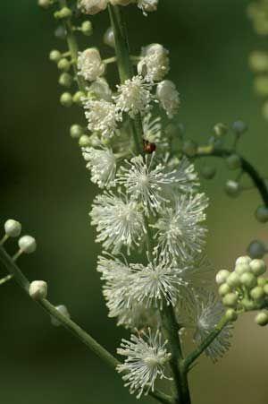 Black cohosh aka Cimicifuga racemosa, Actaea-racemosa