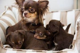 Foto Chihuahua Chihuahua Cute Animals Chihuahua Love