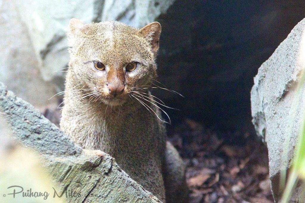 rare cat - a gray jaguarundi