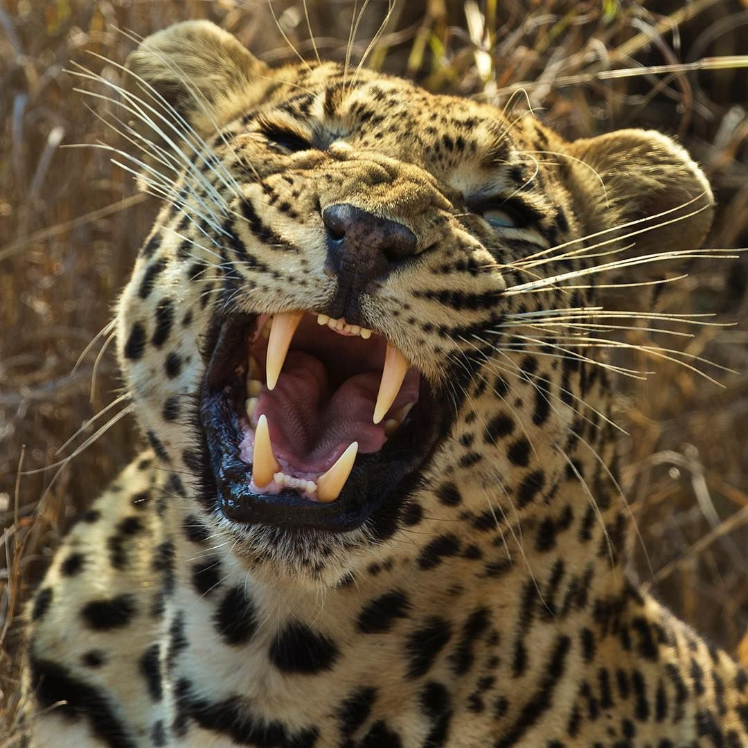 What Do Jaguars Eat >> Jaguars Eat Meat Almost Exclusively What Is The One Fruit