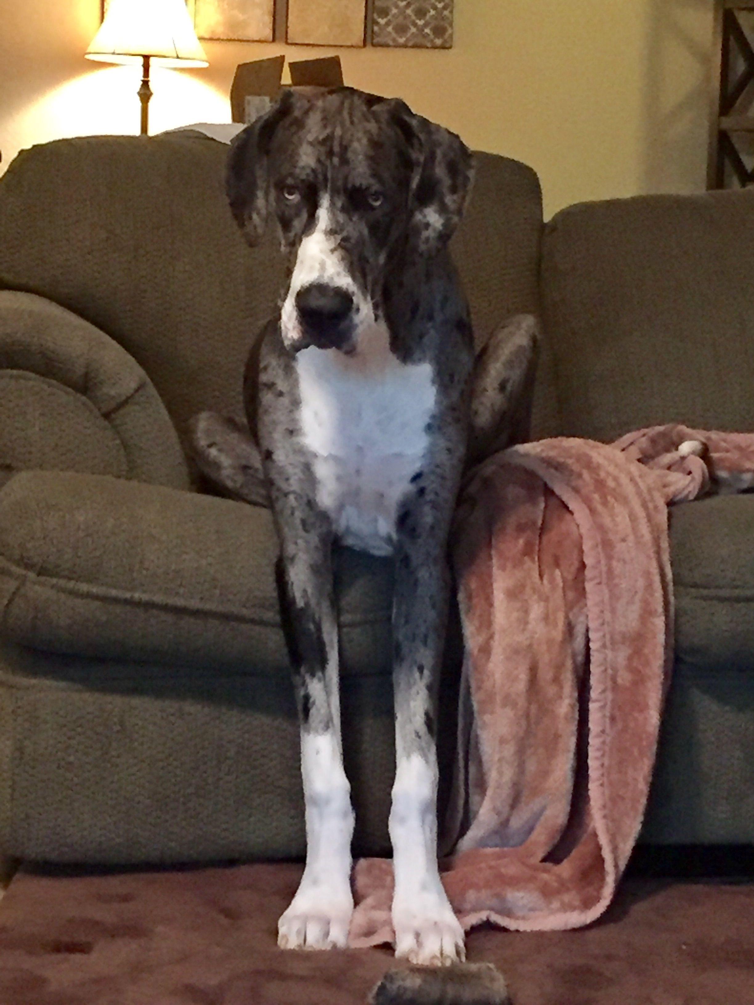 Moose Merle Great Dane 9 Months Merle Great Danes Great Dane