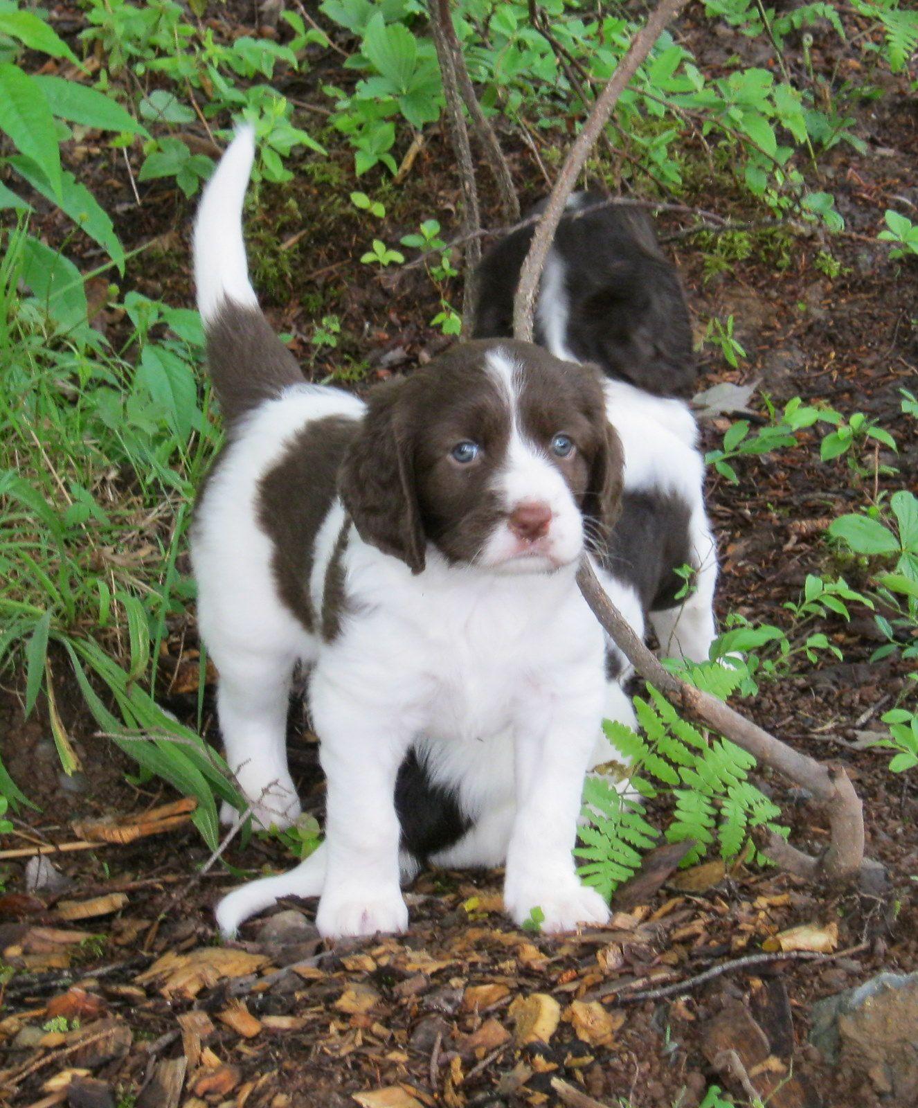Baby Drents Patrijs Hondjes Jachthonden