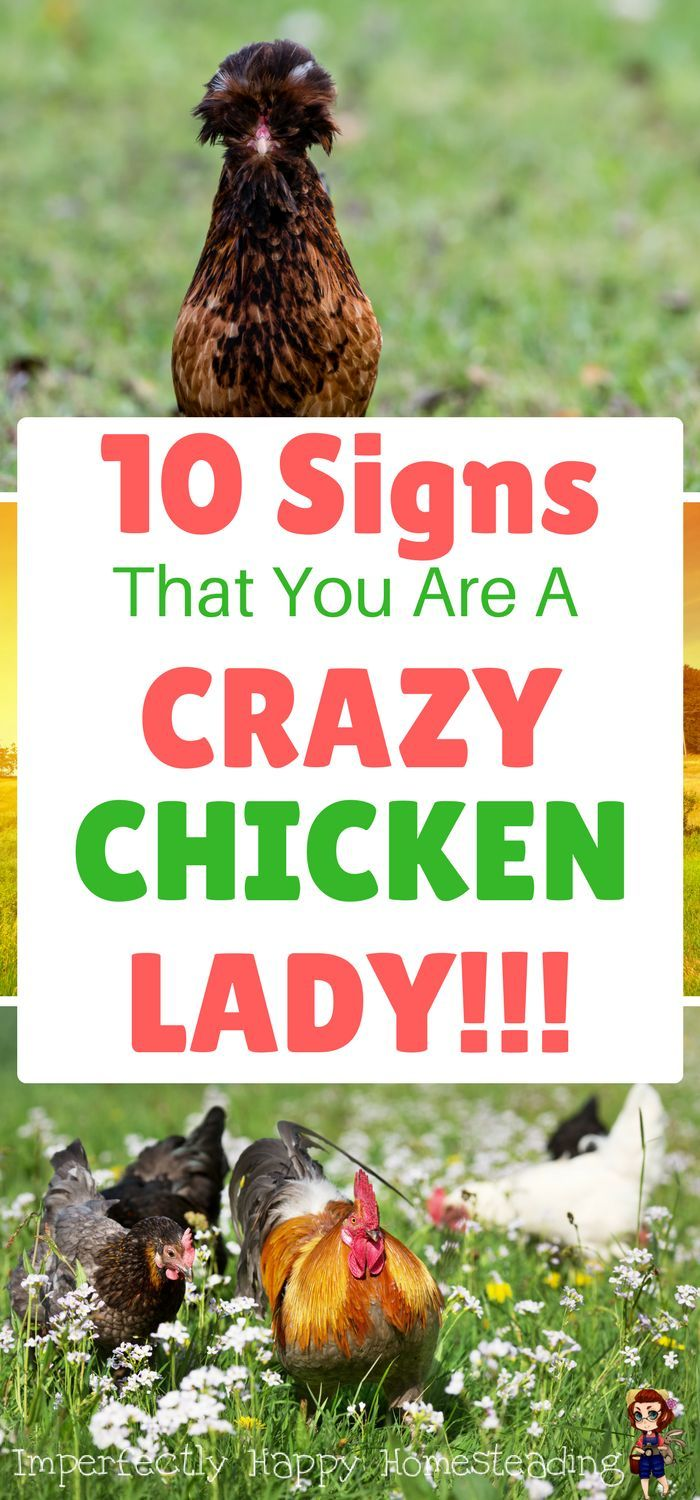 10 signs that you are a crazy chicken lady if you love your