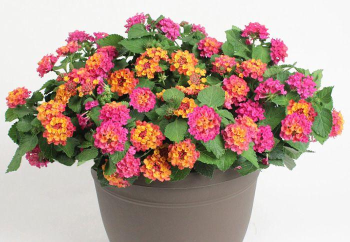 Annuals Buying Guide Outdoor Herb Garden Lantana Vegetable Garden Design
