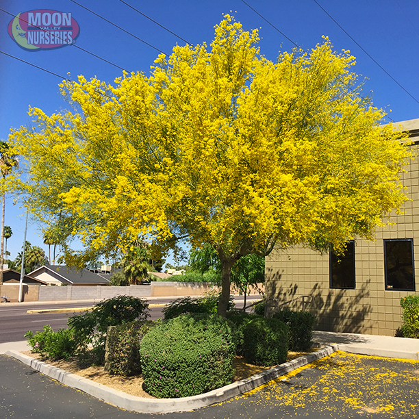 This Blue Palo Verde Is The Classic Version Of The Palo