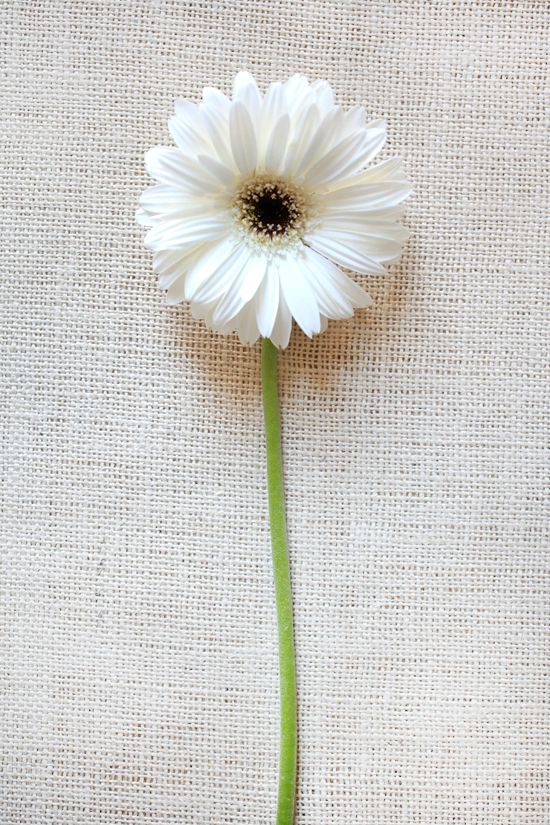 White Gerbera Daisies are the greatest. My wedding consisted solely of white gerbera daisies. They looked so clean, simple, and lovely!