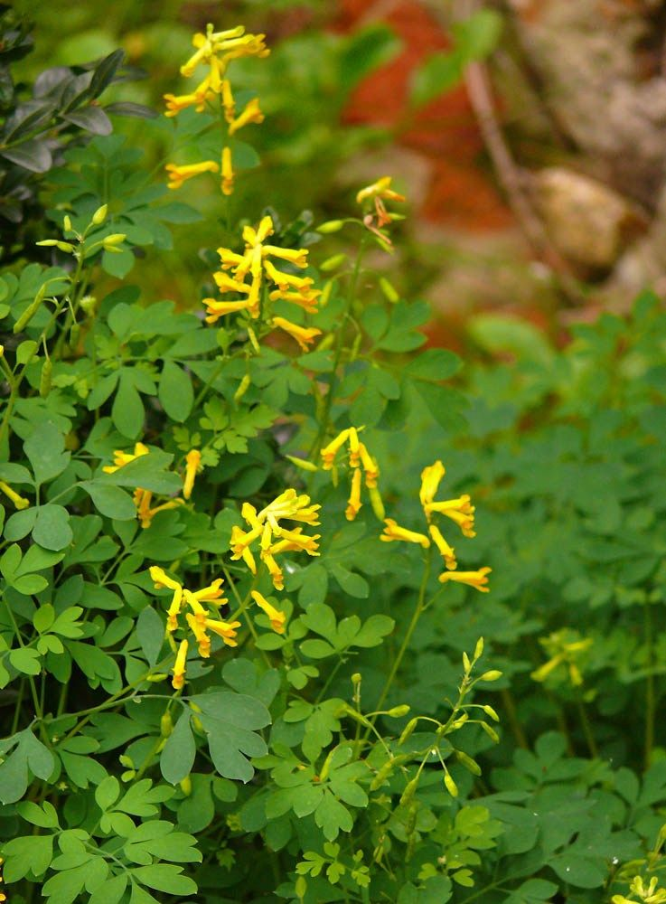 Kokorycz Zolta Dry Shade Plants Natural Garden Country Gardening