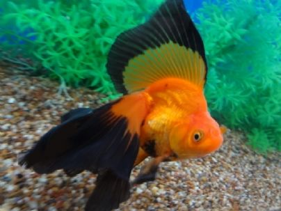 Veil Tail Ryukin Goldfish Ryukin Are Characterized By Their