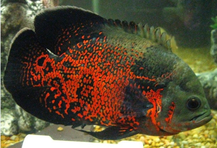 Inilah 7 Nama Ikan Hias Air Tawar Ikan Akuarium Ikan Air Tawar