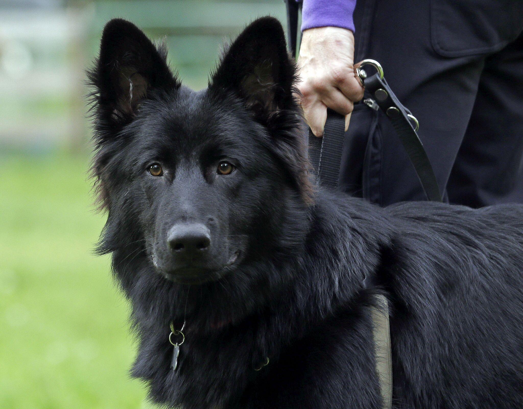 my beautiful dog long hair black german shepherd german