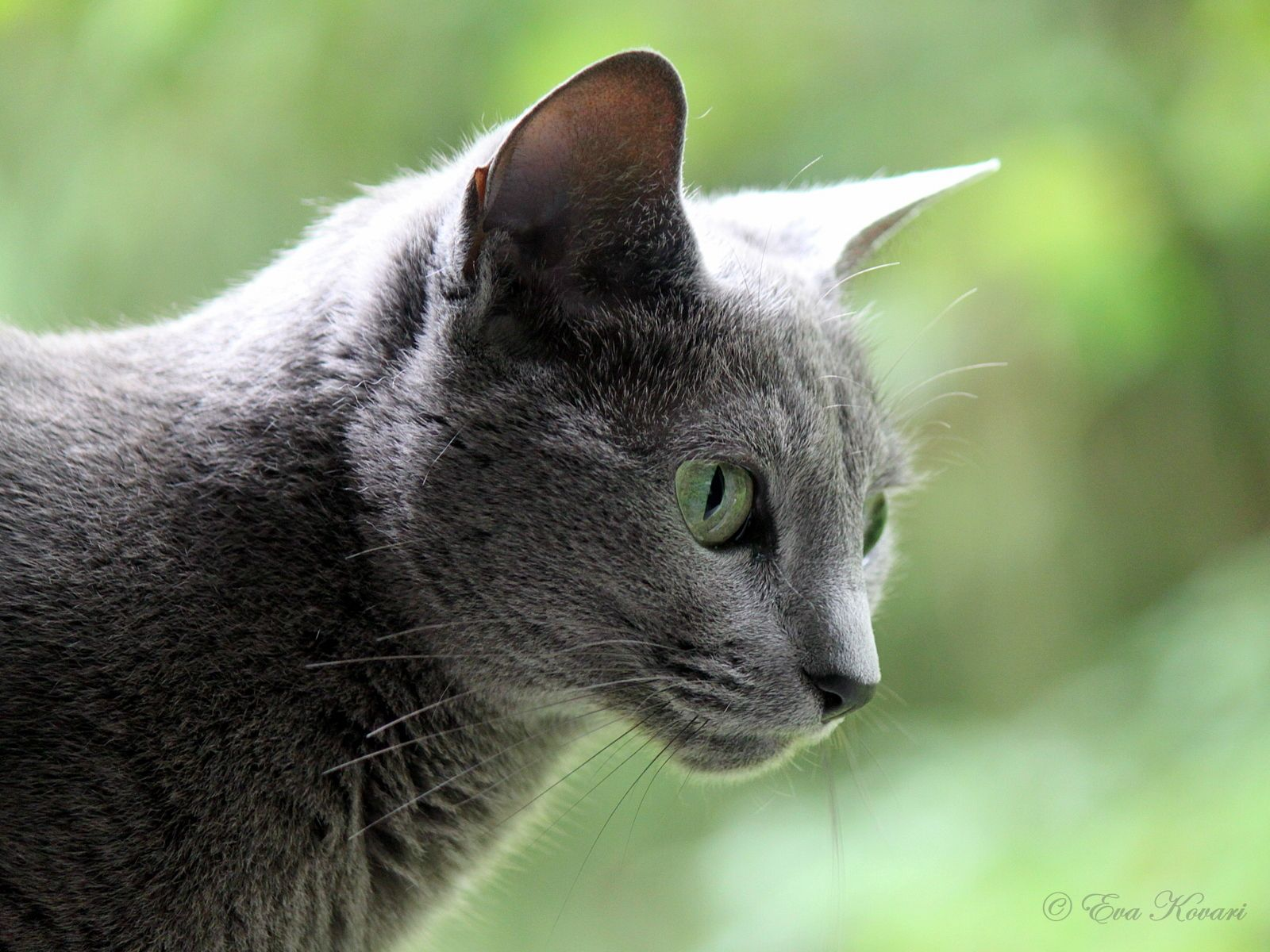 I love Russian blue cats. I have one and its very sweet. Most of the time