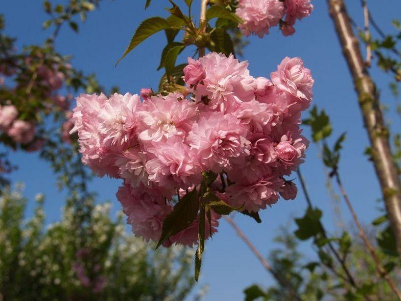 Prunus serrulata 'Kiku-shidare-sakura', Třešeň sakura, Fotografie 1