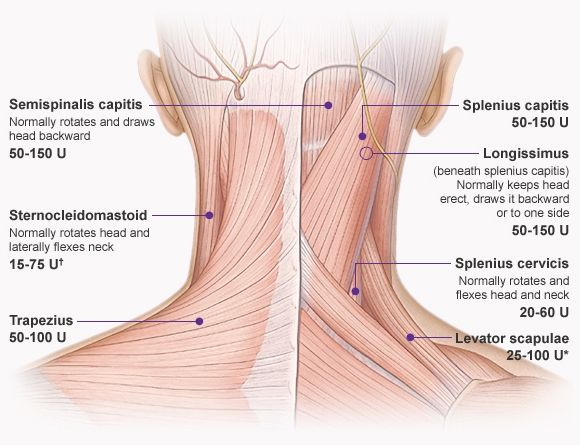 Image result for diagram of back of body spine info exerciese anatomy of the back of the neck human muscles archives page 9 of 35 anatomy human body ccuart Choice Image