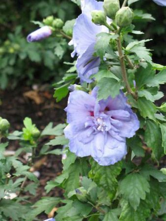 Blue Chiffon Rose Of Sharon Hibiscus Syriacus