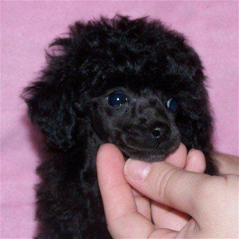 Black Poodle Wallpaper Black Toy Poodle Puppies Pjhm16cr With