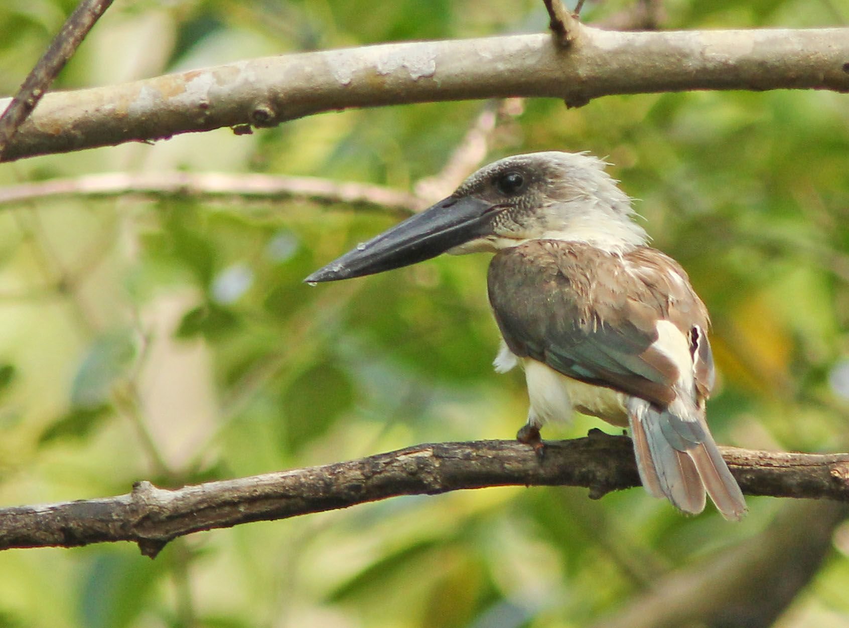 Great billed kingfisher or Black-billed Kingfisher (Pelargopsis melanorhyncha) is endemic to INDONESIA.