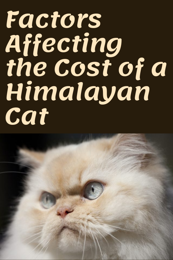 Himalayan Cat Price How Much Does A Himalayan Cat Cost 2020