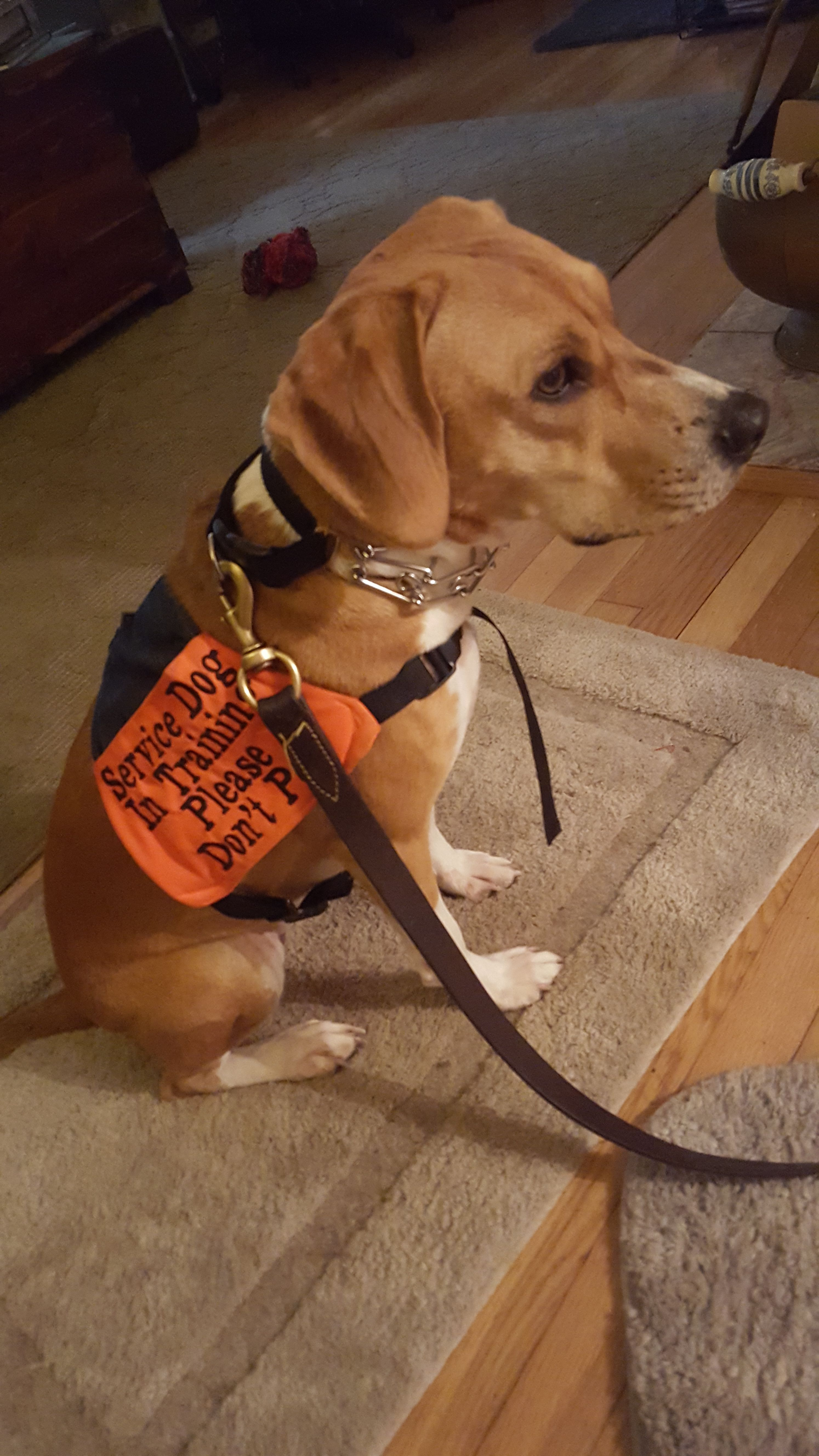 Service Assistance Dogs Don T Pet Them When They Are Working