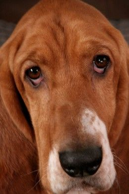 Why Are My Dog's Eyes Red and Inflamed? | crafty | Dogs, Dog