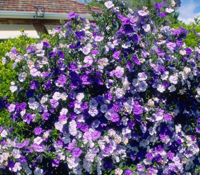 Una planta con flores que cambian de color jimandlisa - Arbusto pequeno con flores ...